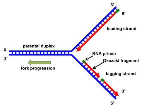 the leading strand template forms a priming loop why can t dna polymerase attach things to the 5 end of a