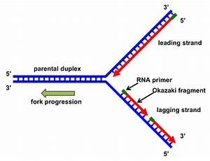 Why Can U0026 39 T Dna Polymerase Attach Things To The 5 U0026 39  End Of A