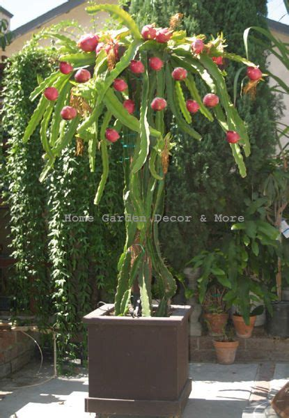 grow dragon fruit growing   dragon fruit