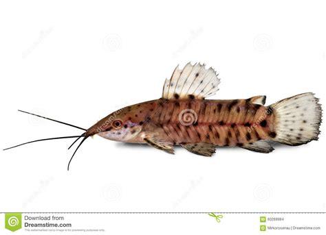 poisson chat d aquarium poissons d aquarium de thoracatum de hoplosternum de poisson chat de hoplo de port photo stock