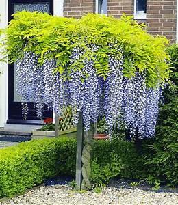 Klettergerüst Garten Günstig : blauregen auf stamm 1 pflanze g rten pflanzen und gartenideen ~ Whattoseeinmadrid.com Haus und Dekorationen