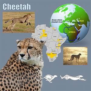 Cheetah Cat Facts For Kids  U2013 Poc
