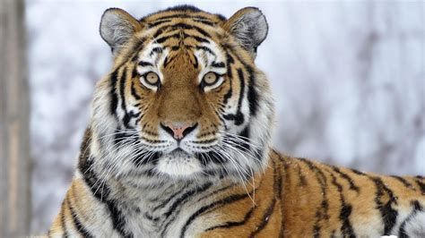 Tiger Wallpapers Top Free Backgrounds