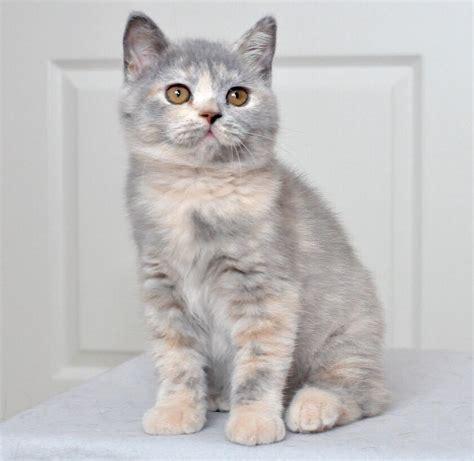 LOVELY BRITISH SHORTHAIR LONGHAIR KITTENS East London Public Ads British Shorthair Cats