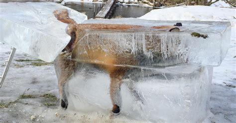frozen congelado ice block fox zorro germany hunter alemania warning hallan parece encuentran hielo era river