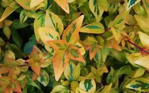 Abelia Grandiflora Kaleidoscope : kaleidoscope dwarf abelia abelia grandiflora ~ Melissatoandfro.com Idées de Décoration