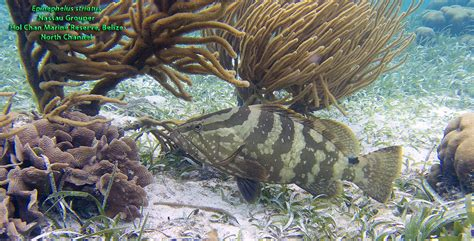 grouper nassau 2565