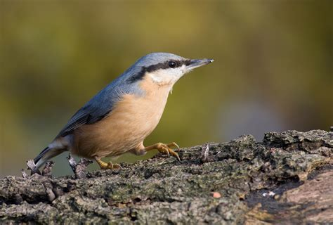 nuthatch definition what is