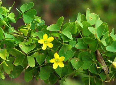 weed opedia yellow woodsorrel southern exposure
