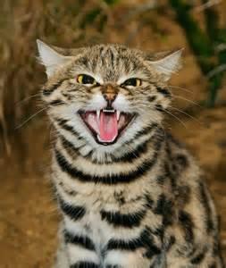 black footed cat pin by deborah olsthoorn on felis nigripes black footed