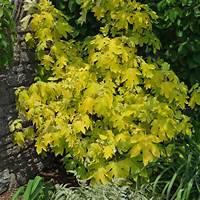 little honey hydrangea 'Little Honey' oakleaf hydrangea - FineGardening