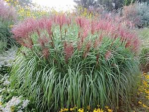 Rotes Gras Winterhart : chinaschilf gras miscanthus sinensis ziergras landschilf ~ Michelbontemps.com Haus und Dekorationen