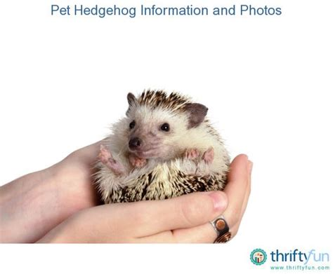 Hedgehogs, Pets And Exotic