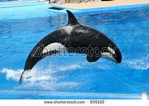 Killer Whale Jumping Out Of Water Sunset