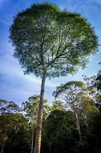Buy Celerywood Tree