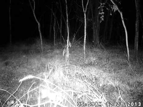 mysterious creature caught  trail camera youtube