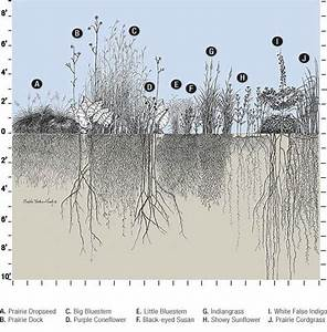 Depth of the roots of different prairie plants   Illinois ...
