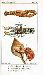 17 Best images about Crustacean on Pinterest | Shrimp ...