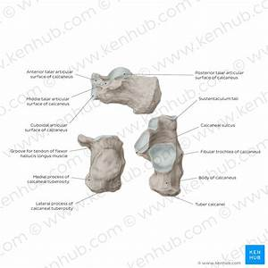 Anatomy Of Calcaneus