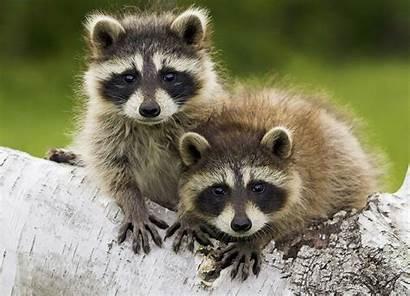 Raccoon Raccoons Adorable