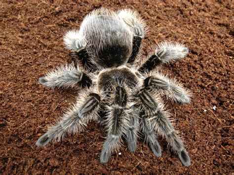 pet tarantula our pet shop livestock list prior to the launch of the live site angell pets the