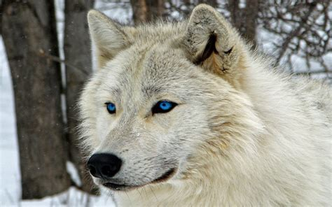 1080p Lone Wolf Hd Wallpaper by Lone Wolf Wallpaper 183 Wallpapertag
