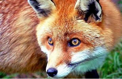 Fox Background Desktop Wallpapers Backgrounds Forest Animals