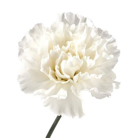 Meaning of flowers white carnations mightylinksfo