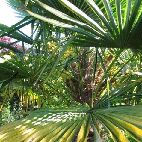 palmier chanvre en pot quels arbres planter en avril
