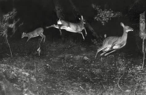 daylight l for photography camera trap codger camera trap pioneers george shiras 3d