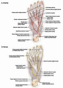 Pictures: Sensory Nerve To Big Toe, - Anatomy Diagram Charts
