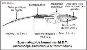 Vie D Un Spermatozoide by Biotop Transmission De La Vie La F 233 Condation