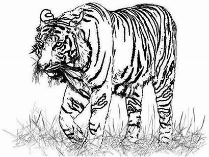 Tiger Drawing Realistic Coloring Pages Animal Lion