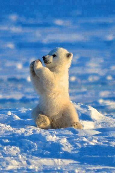polar bear cub praying   snow luvbat