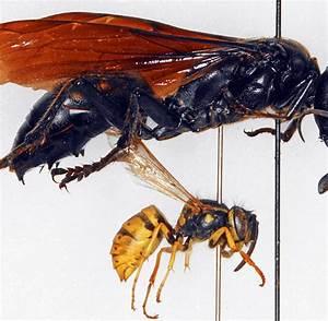 Schwarze Wespe Deutschland : insektenforschung monster wespe aufgesp rt welt ~ Whattoseeinmadrid.com Haus und Dekorationen