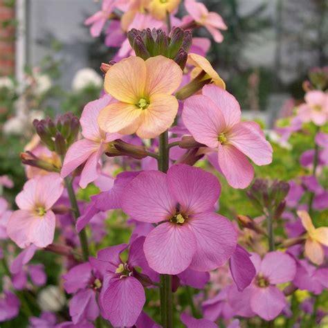 wallflower erysimum flower sweet plants garden sorbet