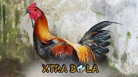 Bahkan ada peraturan resmi yang mengatur tentang sabung ayam pisau di negara tersebut. Melatih Kekuatan Pukulan Ayam Peru Agar Menjadi Juara Sabung