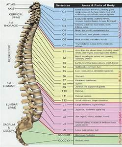 Nerves Of The Spinal Column Diagram
