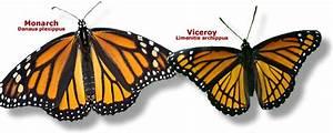 Monarch Vs Viceroy