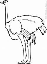 Ostrich Coloring Colouring sketch template