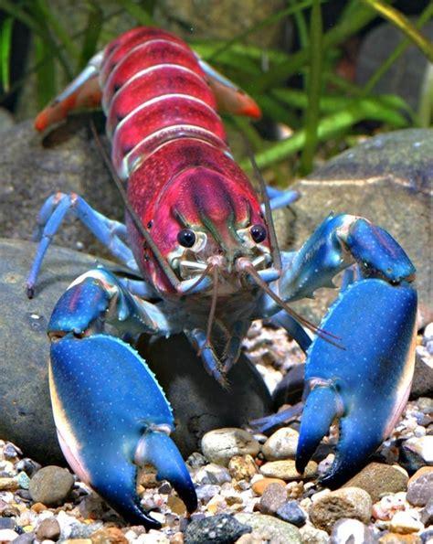 beautiful crayfish   world xcitefunnet