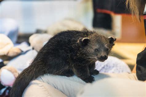 bearcat zoo cincinnati lucille hb hailey bollinger adorable help uc mascot manatee truffleshuffle welcomes rehab 20th his binturong meet citybeat