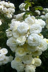 White Garden Rose Flower