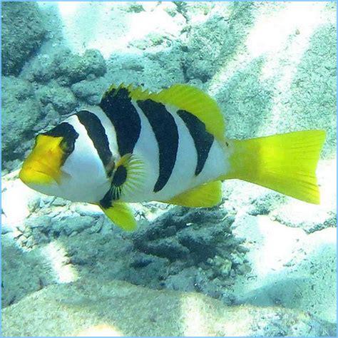 grouper coral saddled saddle fish aquarium saltwater line pete