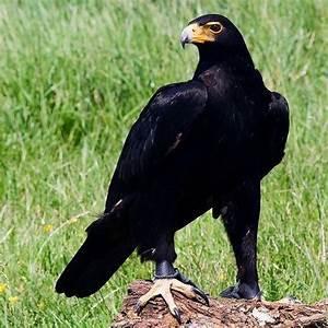 What black bird has a yellow beak? - Quora