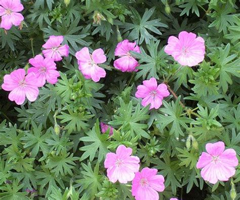 perennial geranium best 20 perennial geranium ideas on pinterest wild geranium geranium rozanne and geranium flower