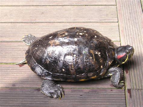 aquarium tortue de floride tortue de floride