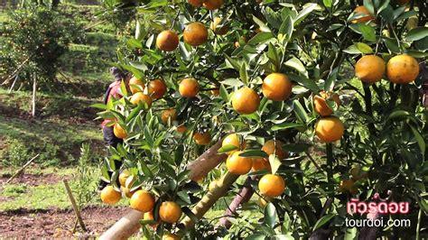 เที่ยวเชียงใหม่ชมสวนส้มสายน้ำผึ้ง - YouTube