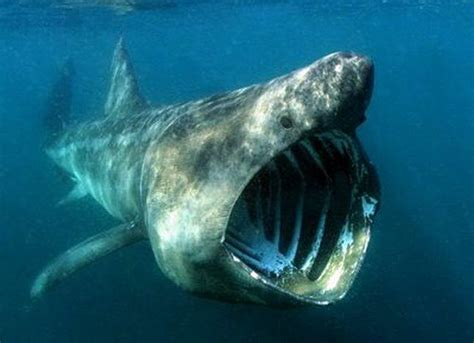 sharkin 39 basking sharks not as dangerous as they appear