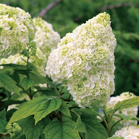 hydrangea hydrangeas can be pruned into a compact shape and look great in containers with
